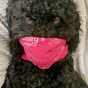 black poodle wearing a pink Ainsley's Angels of America scarf